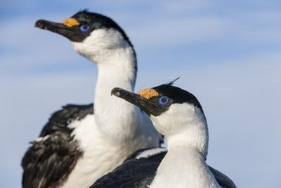 Blue-Eyed Shags, Petermann Island, Antarctica by Paul Souders