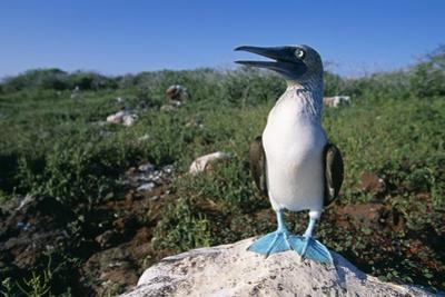 Blue Footed Boobie in Galapagos Islands National Park by Paul Souders
