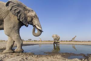 Botswana, Chobe National Park, Elephants and Giraffes at a Water Hole by Paul Souders