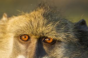Botswana, Chobe NP, Chacma Baboon Sitting in Morning Along Chobe River by Paul Souders