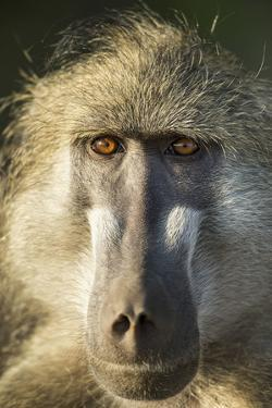 Botswana, Chobe NP, Portrait of Chacma Baboon Sitting in Morning Sun by Paul Souders