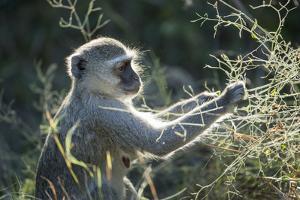 Botswana, Moremi Game Reserve, Vervet Monkey Eating Seeds by Paul Souders