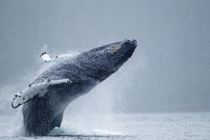 Breaching Humpback Whale, Alaska by Paul Souders