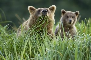 Brown Bear and Cub, Katmai National Park, Alaska by Paul Souders