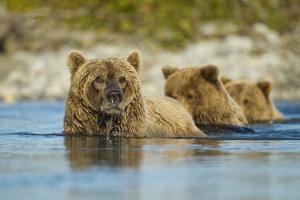 Brown Bear and Cubs, Katmai National Park, Alaska by Paul Souders