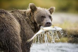 Brown Bear Bear Holding Salmon in Stream at Geographic Harbor by Paul Souders