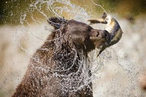 Brown Bear Catching Spawning Salmon from Stream at Kinak Bay by Paul Souders