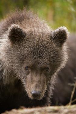 Brown Bear Cub at Kinak Bay in Katmai National Park by Paul Souders
