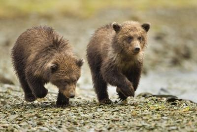 Brown Bear Cubs, Katmai National Park, Alaska by Paul Souders