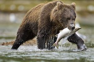 Brown Bear, Katmai National Park, Alaska by Paul Souders