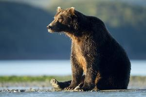 Brown Bear, Katmai National Park, Alaska by Paul Souders