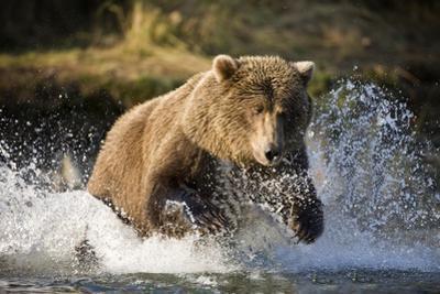 Brown Bear Running Through River at Kinak Bay by Paul Souders