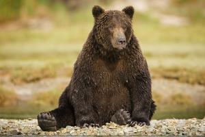 Brown Bear Sitting on Gravel Bar at Kinak Bay by Paul Souders