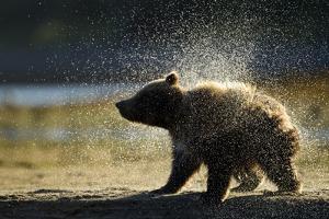 Brown Bear Spring Cub, Katmai National Park, Alaska by Paul Souders