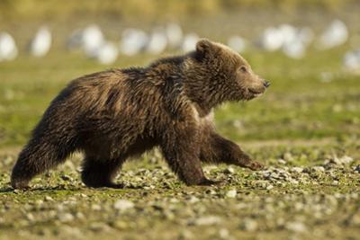 Brown Bear Spring Cubs, Katmai National Park, Alaska by Paul Souders