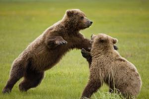 Brown Bears Sparring in Meadow at Hallo Bay by Paul Souders