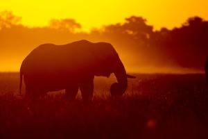 Bull Elephant, Moremi Game Reserve, Botswana by Paul Souders