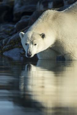 Canada, Nunavut, Repulse Bay, Polar Bears in Shallows of Hudson Bay by Paul Souders
