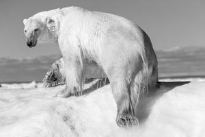 Canada, Nunavut Territory, Wet Polar Bear on an Iceberg in Hudson Bay by Paul Souders