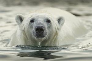 Canada, Repulse Bay, Polar Bear Along Shoreline of Harbour Islands by Paul Souders