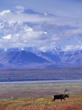 Caribou on Tundra Below Mt. McKinley by Paul Souders