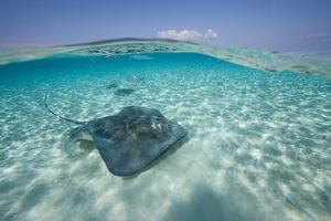 Cayman Islands, Grand Cayman Island, Underwater view of Southern Stingray by Paul Souders