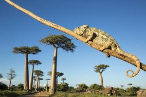 Chameleon, Avenue of Baobabs, Madagascar by Paul Souders