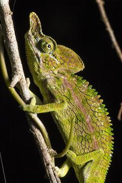 Chameleon, Kirindy Forest Reserve, Madagascar by Paul Souders