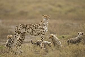 Cheetah and Cubs, Ngorongoro Conservation Area, Tanzania by Paul Souders