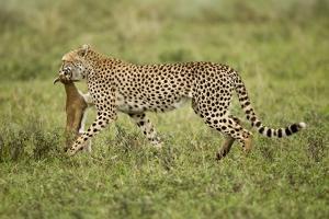 Cheetah and Prey by Paul Souders
