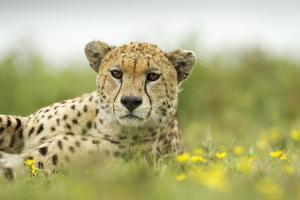 Cheetah at Ngorongoro Conservation Area, Tanzania by Paul Souders