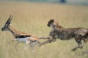 Cheetah Chasing Thomson's Gazelle by Paul Souders