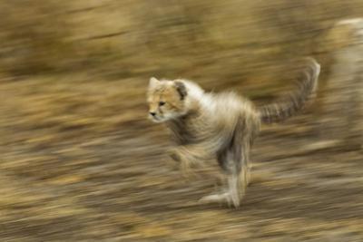 Cheetah Cub by Paul Souders