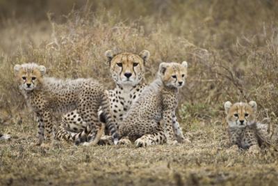 Cheetah Cubs and Mother, Ngorongoro, Tanzania by Paul Souders