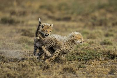 Cheetah Cubs Playing at Ngorongoro Conservation Area by Paul Souders