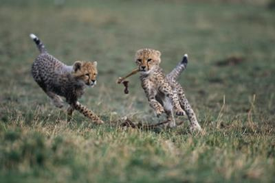Cheetah Cubs Playing with Carcass by Paul Souders