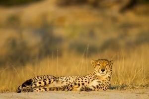 Cheetah, Moremi Game Reserve, Botswana by Paul Souders