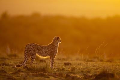 Cheetah on Savanna at Sunrise by Paul Souders