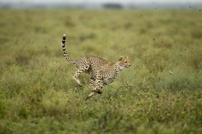 Cheetah Running by Paul Souders