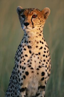 Cheetah Sitting in Grass by Paul Souders