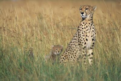 Cheetah with Cubs in Tall Grass by Paul Souders