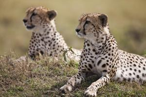 Cheetahs Resting in Grass by Paul Souders