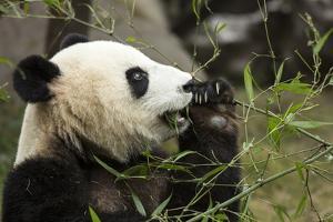 China, Sichuan, Chengdu, Giant Panda Bear Feeding on Bamboo Shoots by Paul Souders