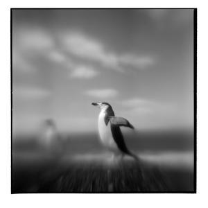 Chinstrap Penguin, Antarctica by Paul Souders