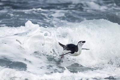 Chinstrap Penguin, Deception Island, Antarctica by Paul Souders