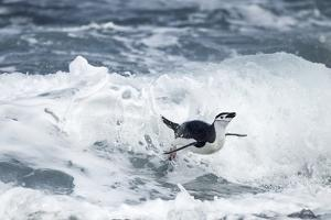 Chinstrap Penguin, Deception Island, Antarctica by Paul Souders