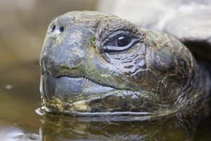 Close-Up of Giant Tortoise Head by Paul Souders