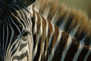 Close-Up of Plains Zebra by Paul Souders