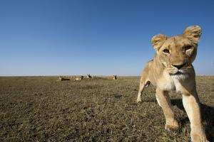 Curious Lion Approaching on Savanna by Paul Souders