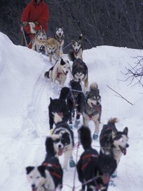Dog Sled Racing in the 1991 Iditarod Sled Race, Alaska, USA by Paul Souders